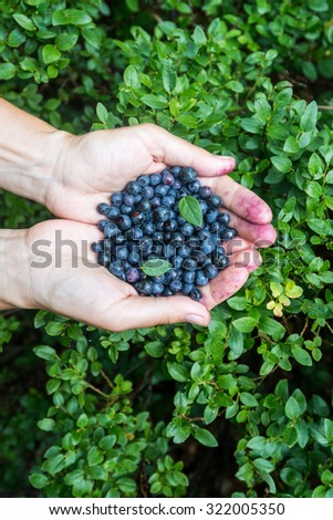 forest wild blueberries, pluck the ripe berries hands - stock photo