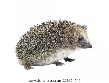 Forest wild hedgehog isolated on white background - stock photo