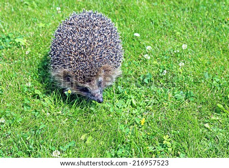 Forest wild hedgehog on a green lawn