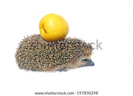 Forest wild hedgehog with yellow apple on the back isolated on white background - stock photo