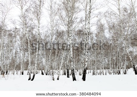 Forest winter Birch in snow