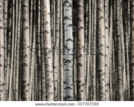 Forest with bare trunks of birch, 100 percent seamless! - stock photo