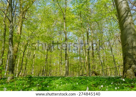 Forest with beech trees in the springtime - stock photo