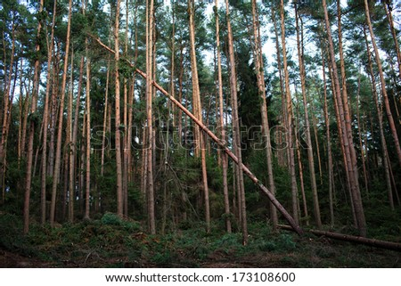 Forest with fallen trees in the wake of a strong storm - stock photo