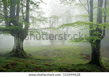 forest with fog in spring