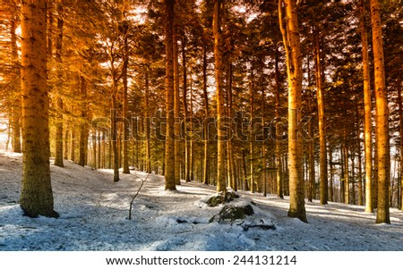 forest with snow at sunset - stock photo