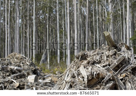 Forestry waste with tall eucalyptus trees behind. Tasmania, Australia - stock photo