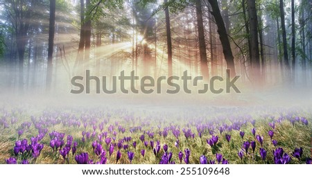 Forests of the Carpathians mountain peaks in spring full of beautiful spring flowers that grow right after snega- crocuses. Magic show and a lovely fragrance in the foggy sunny morning - stock photo