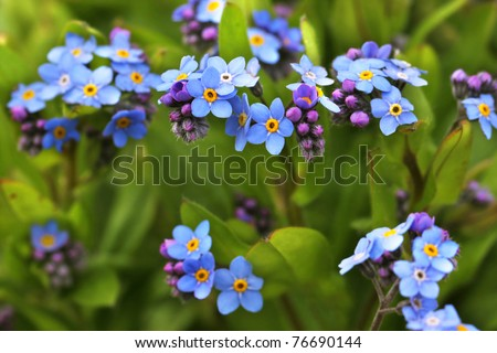 Forget me not blooming flowers and petals - stock photo