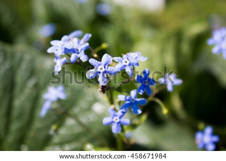 Forget-me-not blue flowers in the garden - stock photo
