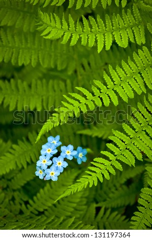 Forget-Me-Not Ferns Fer fronds frame a small cluster of forget-me-not wildflowers at Peninsula State Park, Door County, Wisconsin. - stock photo