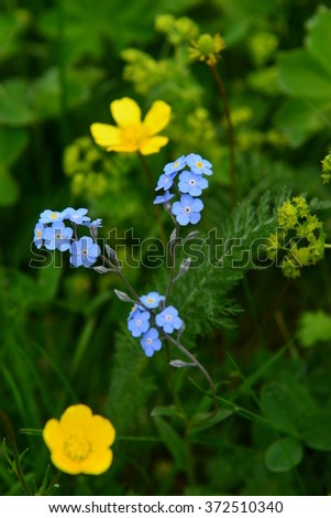 Forget-me-not flower and defocused meadow buttercup - stock photo