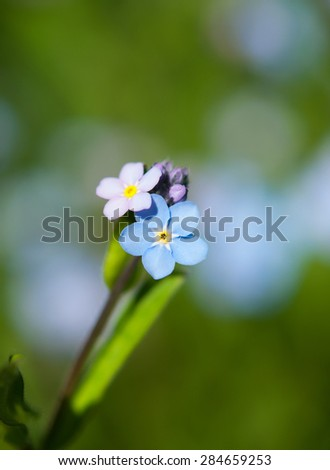 forget-me-not flower. Blue flowers