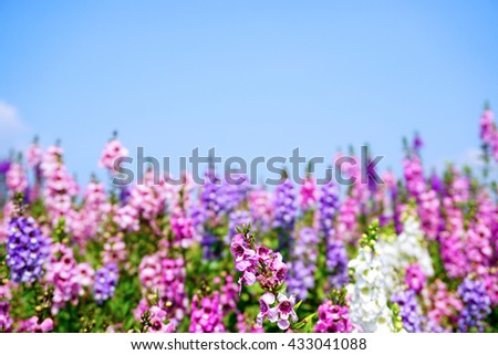 Forget me not flower purple and pink  -Blur flower background - stock photo