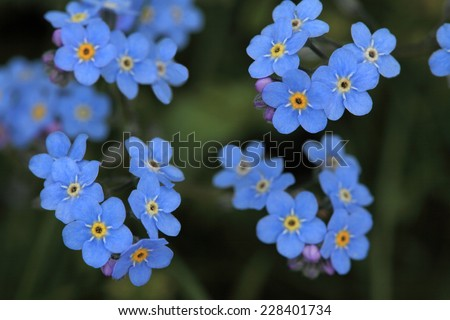 Forget me not flowers growing in nature - stock photo