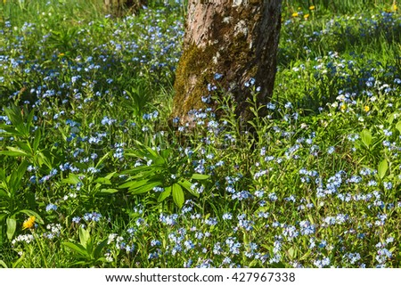 Forget me not flowers in a garden - stock photo