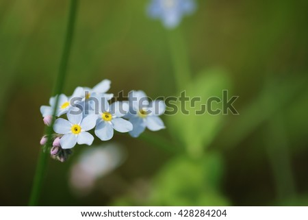 forget me not flowers in spring sunny day, shallow focus - stock photo