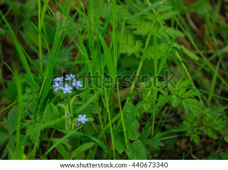 Forget me not flowers in the fresh green grass at summer - stock photo