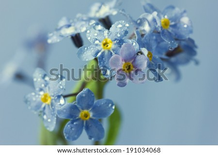 Forget-me-not flowers in water drops, vintage floral background - stock photo