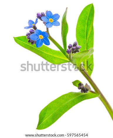 forget-me-not flowers isolated on white background 1:1 macro lens shots