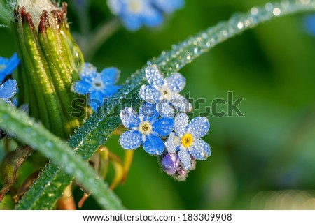 forget me not flowers on a summer meadow in dew drops - stock photo