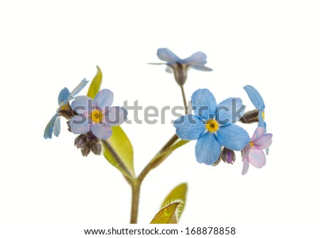Forget-me-not flowers on a white background