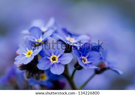 Forget me not flowers - spring garden - stock photo