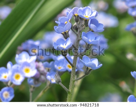 Forget-me-not, forget me not, knot, blue flower - stock photo