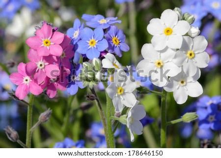 Forget-me-not in three colors - stock photo