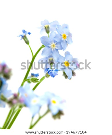 forget me not isolated on white - stock photo