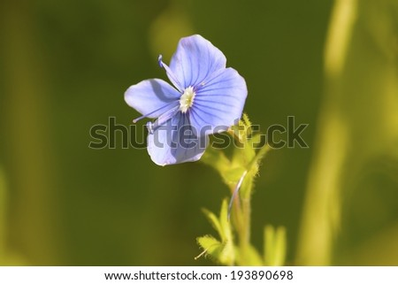 Forget-me-not Light Blue Flower  - stock photo