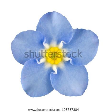 Forget-me-not Light Blue Flower Isolated on White Background. Myosotis arvensis Macro - stock photo