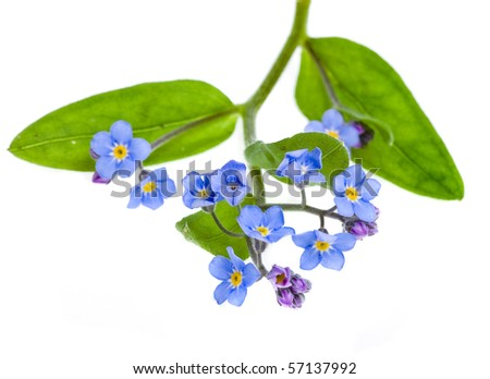 forget-me-not (Myosotis arvensis) flower  isolated on white - stock photo