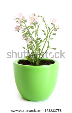 Forget-me-not (Myosotis) in pot on white background - stock photo