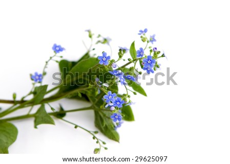 forget-me-not over clear white background