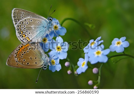 Forget me not, small flowers with butterflies - stock photo