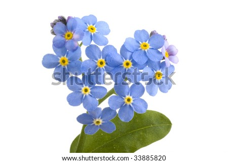 Forget me not, sweet little flowers on a white background.