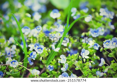Forget-me-not tender  flowers blossoming in spring time - stock photo
