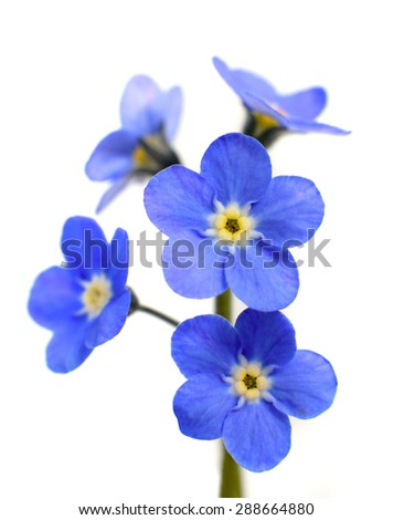 Forget-me-not Victoria Blue Flower Isolated on White Background - stock photo
