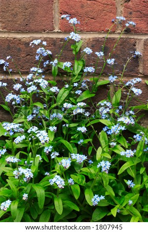 Forget-me-nots - stock photo