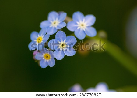 Forget-me-nots are any one of a number of species of flowering plants in the genus Myosotis.