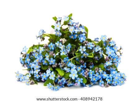 Forget-me-nots flowers  isolated on a white background - stock photo
