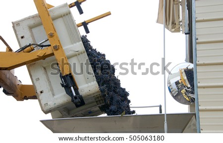 Forklift dumping bin of purple grapes into sorter for initial sorting prior to going to the crusher for wine making in Napa Valley