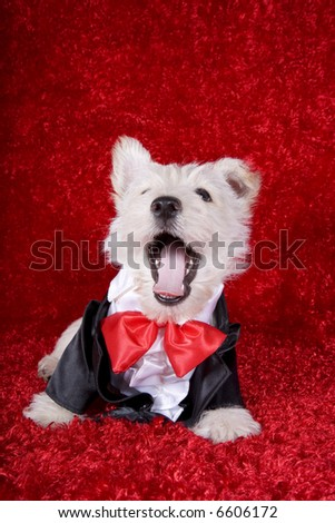 Formal Scottish Terrier pup with mouth open in suit and red bow tie on red background