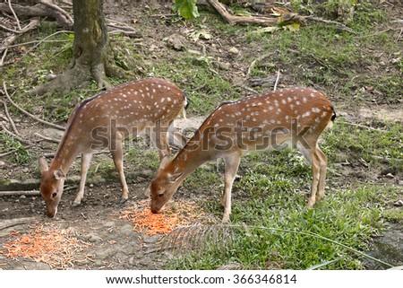 Formosan sika deer - stock photo