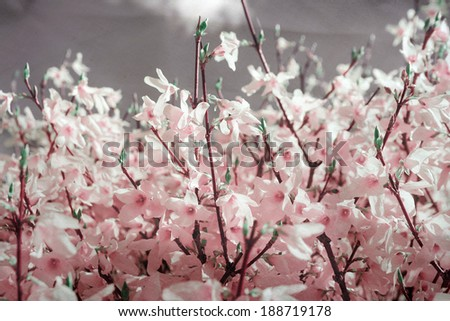 forsythia - stock photo