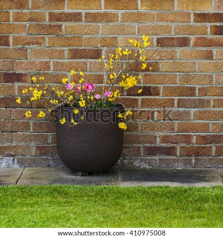 Forsythia and pink tulips in garden container / plant pot - brighten up a dull brick wall / garden / patio, with plants - gardening design. - stock photo