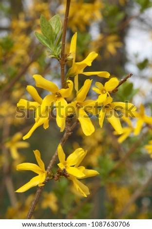 Forsythia bush yellow flowers stock photo royalty free 1087630706 forsythia bush with yellow flowers mightylinksfo