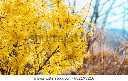 forsythia stock images, royaltyfree images  vectors  shutterstock, Beautiful flower