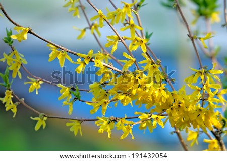 Forsythia shrub blooming in springtime with abstract  background - stock photo